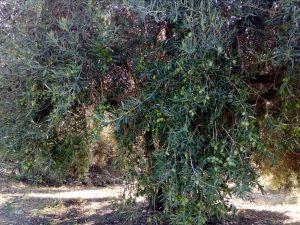 Gli ulivi